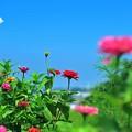 写真: 15 咲き競演