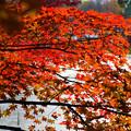 弘前城堀の楓