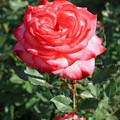 六華苑 庭園 バラ IMG_0375_2