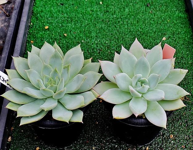 エケベリア・タスコ(右)と大和錦Hyb(左)