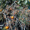 柿を求め気ままな散策