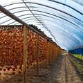 干し柿風景