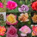 写真: collage (rose festa)
