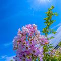 写真: バラの野生種