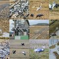 Photos: 鶴 collage