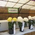 菊の仕立て方 「だるま作り」