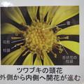 ツワブキの頭花は、このようになっています