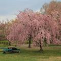 写真: 休?櫻花樹下