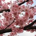 写真: 櫻之美態