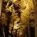 写真: 銀杏ライトアップ