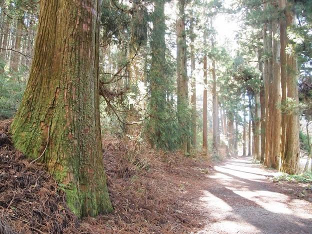 旧街道杉並木 (17)