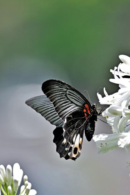 アガパンサスと黒いアゲハ・ナガサキアゲハ♀。