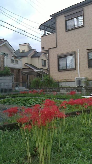 裏から見た我が家 彼岸花がきれいに咲いた