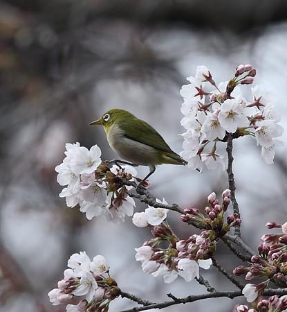 野鳥(1101)−メジロ、満開の桜の中で