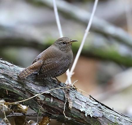 野鳥(1103)−ミソサザイ, 鳴き声が綺麗