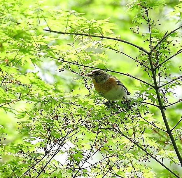 写真: 新緑の中のアトリ(2)