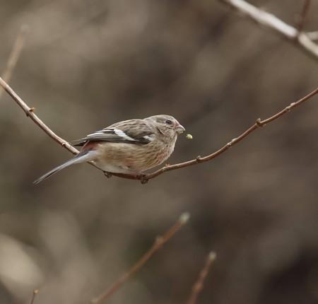 野鳥(1105)−ベニマシコ♀、 目の前に
