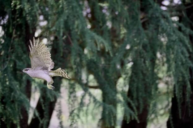 写真: オオタカ 飛翔(5)