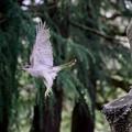 写真: オオタカ 飛翔(1)