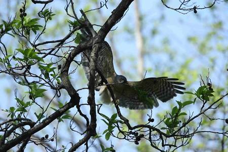 野鳥(1111)−ツミ、巣材集め