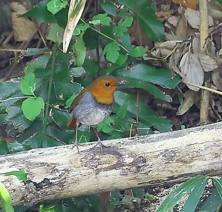 野鳥(1112)−コマドリ、 極々短い滞在でした