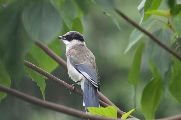 写真: オナガ 幼鳥(6)