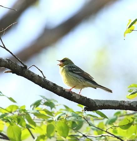 野鳥(1123)−ノジコ他、高原の野鳥