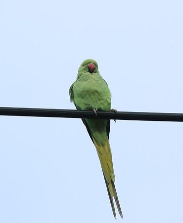 野鳥(1129)−ワカケホンセイインコ、 目の前に