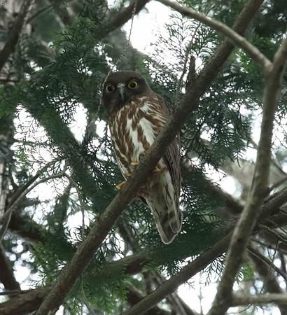 野鳥(1133)−アオバズク、 営巣準備?