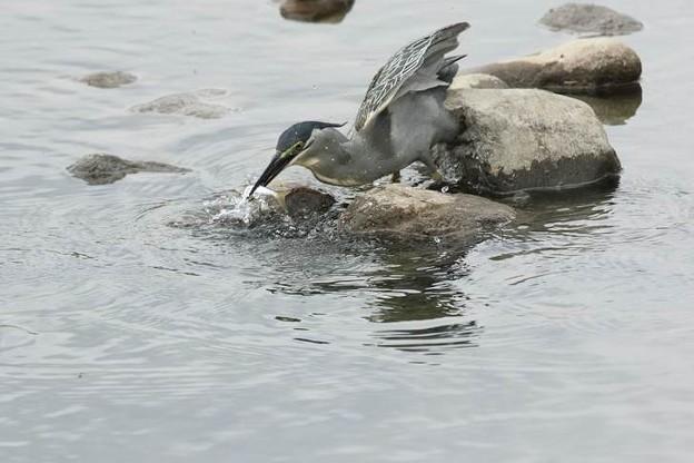 写真: ササゴイ 採餌(2)