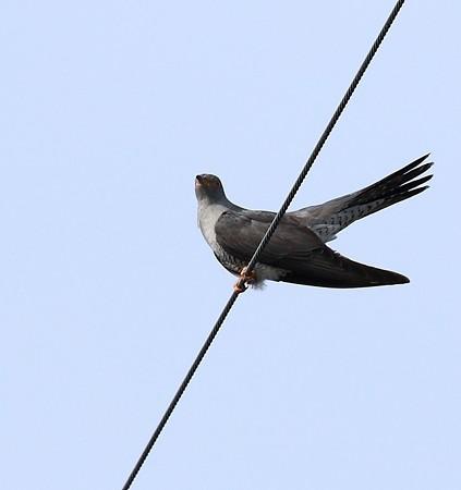 野鳥(1137)−カッコウ, 街中で
