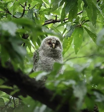 野鳥(1142)−フクロウ、巣立ち雛3羽