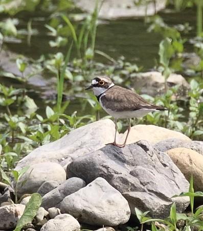 野鳥(1143)−コチドリ、遠い河原に&七夕の満月