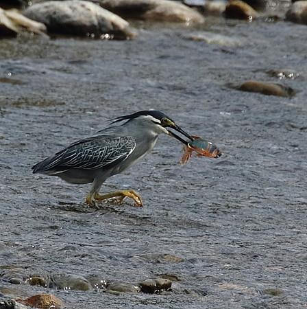 野鳥(1144)−ササゴイ、 大漁だ!