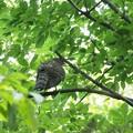 オオタカ幼鳥(3)