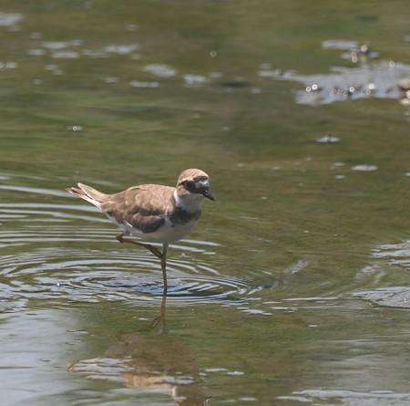 野鳥(1162)−イカルチドリ、 シギの中に