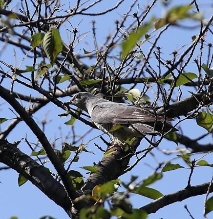 野鳥(1168)−ツツドリ、 落ち着きがない