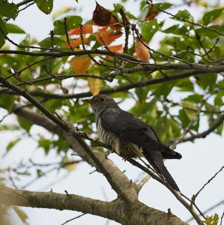 野鳥(1172)−ツツドリ、落ち着きゆったりと
