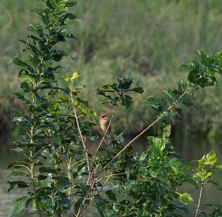 野鳥(1173)−モズ、 高鳴き