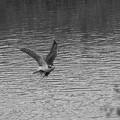 写真: オオタカの狩り(7)