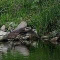 写真: オオタカの狩り4)