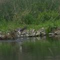 写真: オオタカの狩り(2)