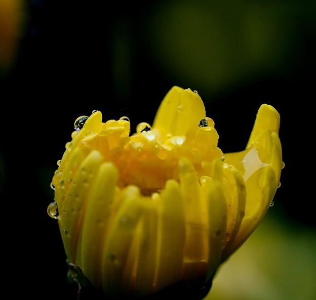 写真: 菊花に優しく