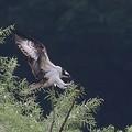 写真: ミサゴ飛翔(1)