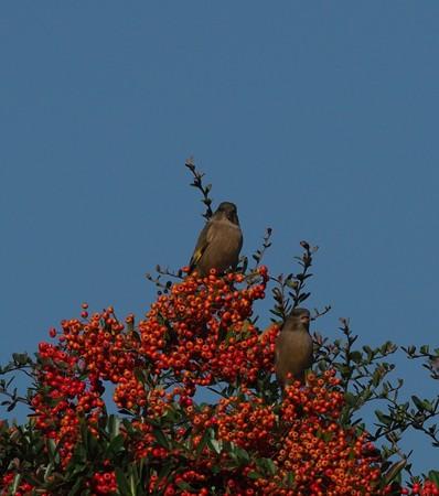 野鳥(1193)-カワラヒワ、ピラカンサスに
