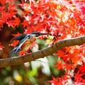 _紅葉とカワセミ