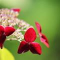 写真: 紫陽花5