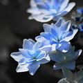 写真: 紫陽花6