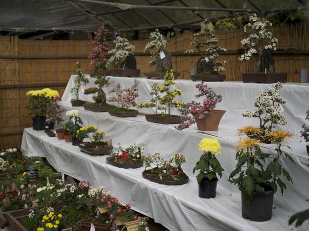鉢植えの展示