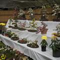 Photos: 鉢植えの展示